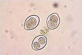 eimeria in dogs protozoan organisms unicellular proprofs quiz