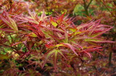 acer palmatum kamagata 233 rable du japon nain pot 4l jardiplante