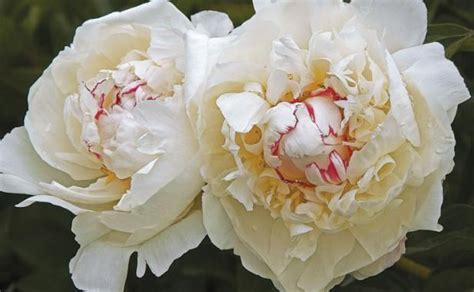 Maxiinner Peony festiva maxima a heirloom peony variety is still one of the most fragrant it also glows