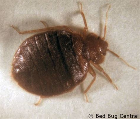show a picture of a bed bug image gallery identifying a bed bug