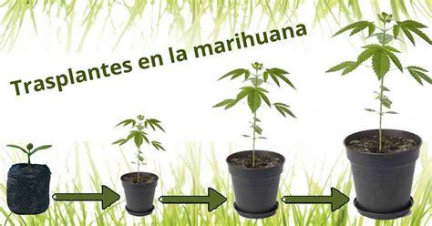 Plantas Online los trasplantes en la marihuana paso a paso