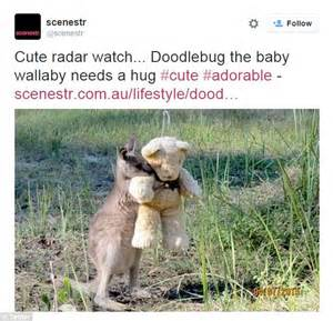 Doodlebug The Kangaroo Hugging Teddy Goes Viral