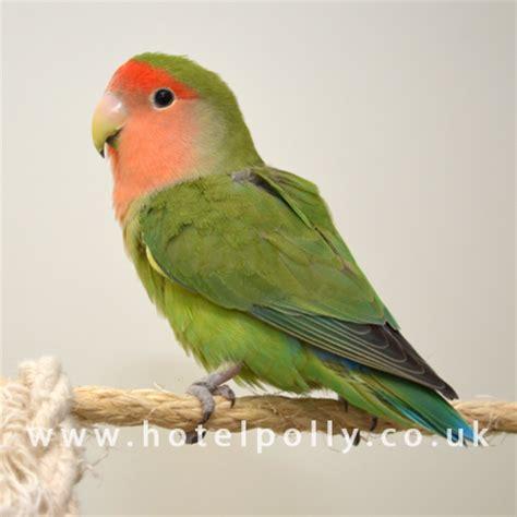 peach face lovebird profile care guide parrot essentials