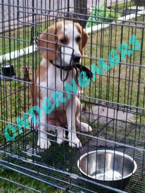 Jual Anjing Beagle Kaskus pasang iklan promosi gratis kaskus iklan jual beli fauna