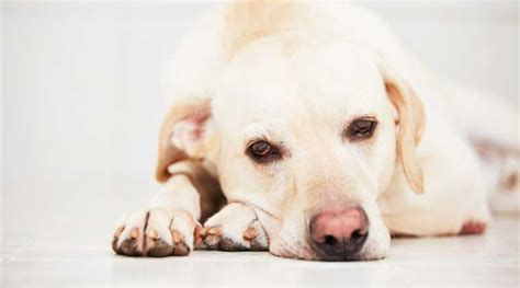can dogs get depressed is your depressed here s what you can do the indian express