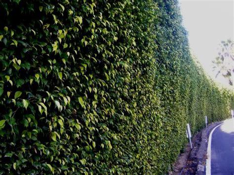 ficus nitida hedge ficus retusis ssp nitida ficus benjamina i would