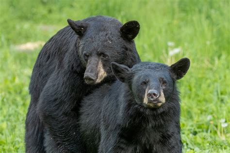 bear facts nature smart august   annandale advocate