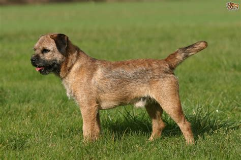 pictures of terrier dogs border terrier breed information buying advice photos and facts pets4homes
