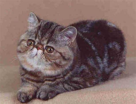 persiani esotici razze gatti