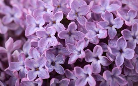 fiore lillà fiori lill 224 fiori di piante caratteristiche dei fiori