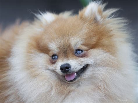 pomeranian family pomeranian saves family from house
