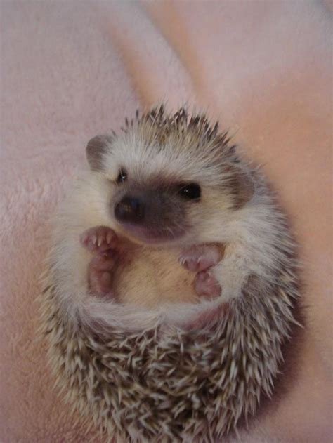 Hedgehog Crib Bedding When I Retire I Want A Pet Hedgehog Hedgehogs Pinterest Hedgehogs Animal And Baby Hedgehogs