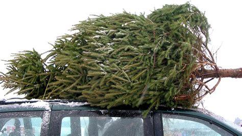 taking care of christmas trees how to buy and take care of your tree today