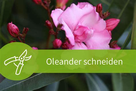 wann schneidet oleander oleander schneiden der richtige schnitt zur richtigen zeit