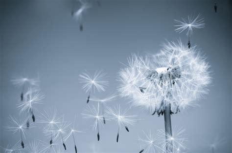 Bunga Dandelion 1 oh sehun lucky black pearl