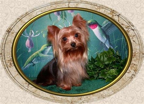 yorkie size and weight teacup yorkie weight stud teacup weight yorkie breed your stud