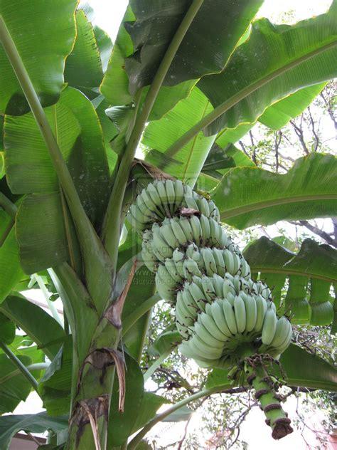 Bananas On Tree by Sacred Banana Tree By Guruzone On Deviantart