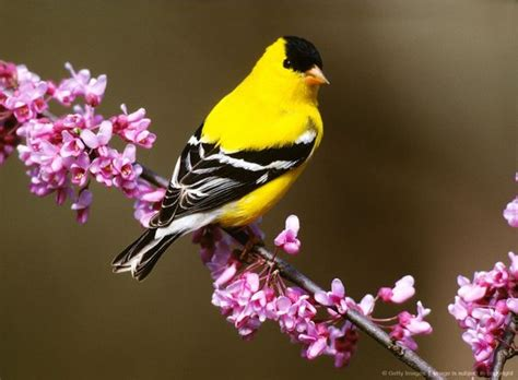 american goldfinch state bird of new jersey birds of a