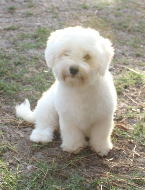 coton de tulear puppies for sale florida 78 images about coton de tulear on madagascar ontario and o connell