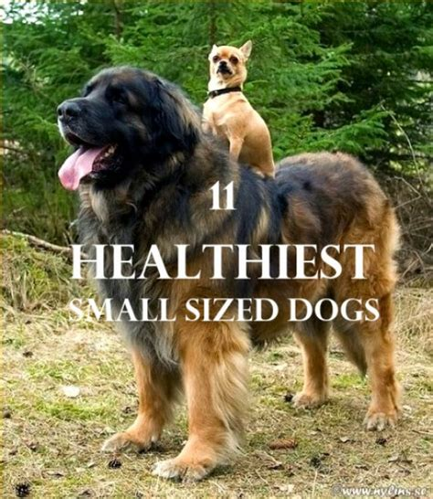 healthiest small breeds 11 healthiest small breed dogs hubpages