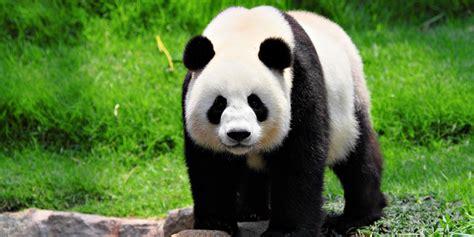 fotos de grupo panda 161 los pandas ya no est 225 n en peligro de extinci 243 n expoknews