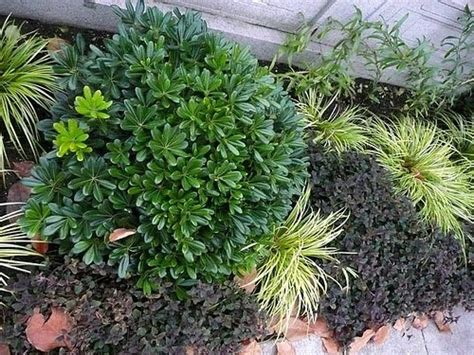 nomi piante da giardino piante sempreverdi da giardino piante da giardino