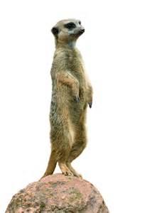 meerkat pictures kids