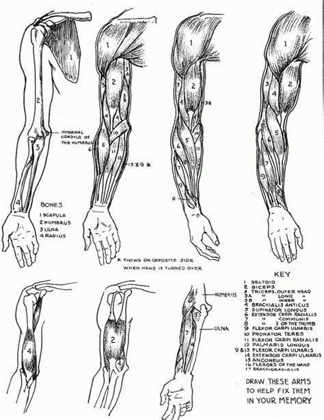 arm flexors google search anatomy reference