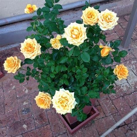 Pupuk Untuk Bunga Mawar daftar jenis tanaman hias berbunga yang sedang populer