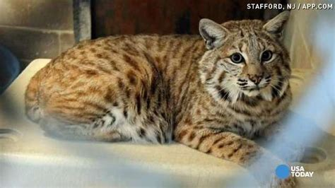 cat mix image gallery ocelot cat mix