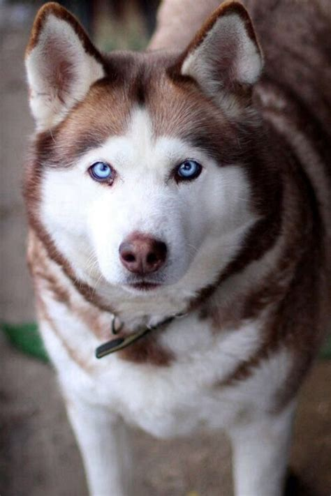 brown husky puppy brown husky dogs i will