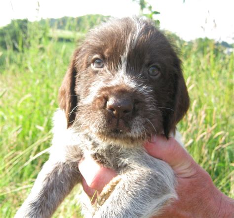 wirehaired pointer puppy magnificent german wirehaired pointer pups cowbridge vale of glamorgan pets4homes