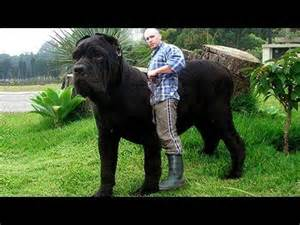 Top 10 biggest guard dogs in the world 2016 youtube