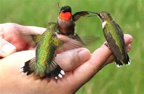 hummingbirds all over picture of tanama jungle ranch la