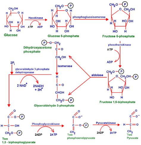 diagram of glycolysis glycolysis function of glycolysis stages of glycolysis
