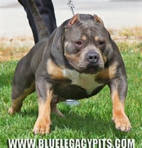 tri color pitbull puppies for sale blue legacy pits american bully stud tri color