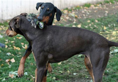 rottweiler puppies for sale in dallas area doberman pinscher puppies for sale in