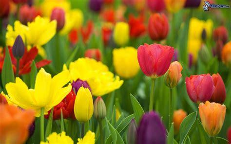 imagenes tulipanes rosas tulipanes