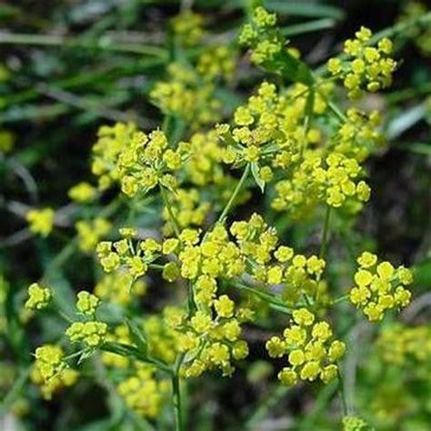 Plant Vase Bupleurum
