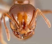 solenopsis invicta antwiki