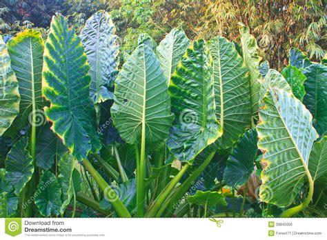 orecchio bagnato foglia verde da una pianta dell orecchio di elefante