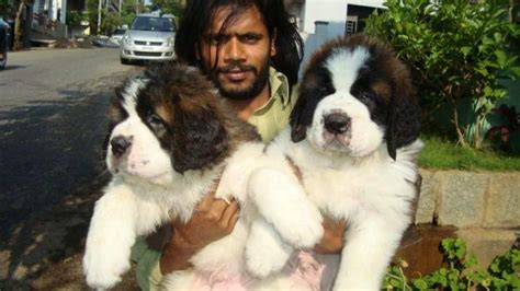 st bernard puppy for sale bernard puppies for sale in mumbai maharashtra 9320185151 products offered