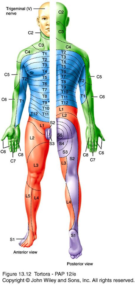 dermatomes map dermatome map leg image search results