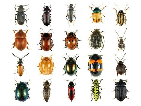 coleotteri volanti descrizione insetti scuolissima