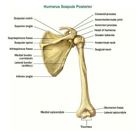 diagram of the clavicle best 25 scapula ideas on shoulder anatomy