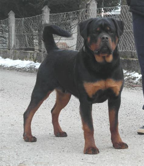 how much do rottweilers eat how often how much to feed meisterhunde rottweilers high quality german