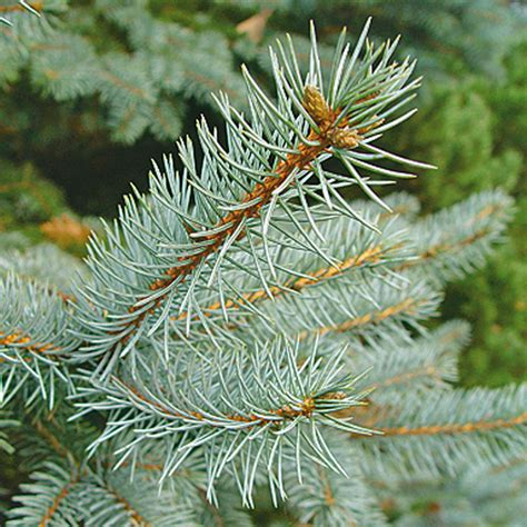 weihnachtsbaum kaufen saisonales selbst de 28 images
