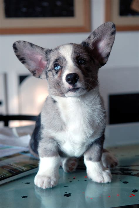 cardigan corgi puppies for sale price cardigan corgi puppies 2017 2018 best cars reviews