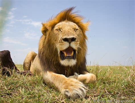 resting lion burrard lucas photography