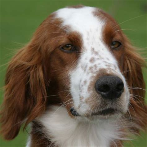 and white setter puppies and white setter breed guide learn about the and white setter